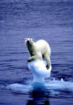 L__ours_polaire_et_le_r_chauffement_climatique_2