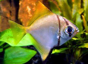 monodactylus-argenteus-juvenile