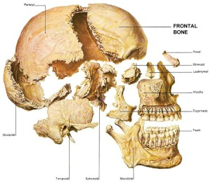 Frontal-Bone-Anatomy-Skull